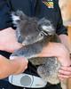 Baby Koala Bear.