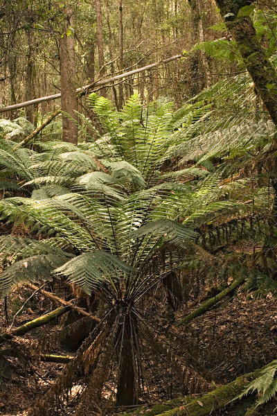 Tree ferns in the rain forest.