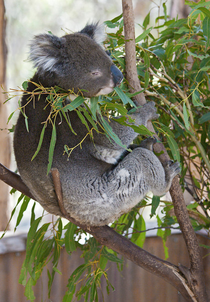 Koala Bears eat only a few kinds of Eucalyptus leaves.  Apparently the long sleep periods are to permit digestion of leaves that virtually all other animals fine indigestible.