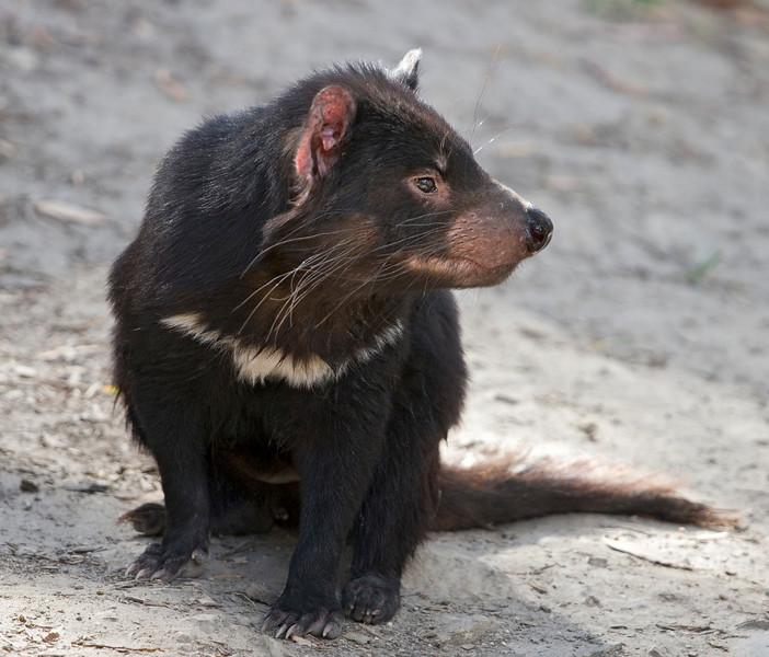 Pensive Tasmania Devil.