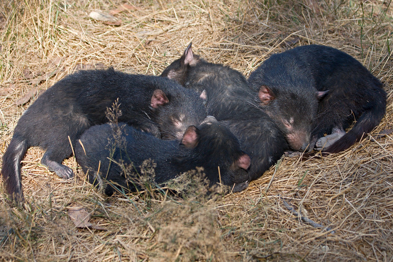 Just outside Mt. Field Park, we visited another animal park and rehab center.  Four young Tasmanian Devils here.