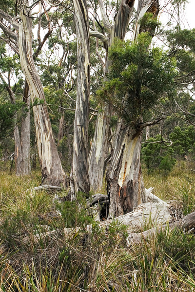 The walk led through groves of gum trees, once burned over but now green again, surrounded by swordgrass.