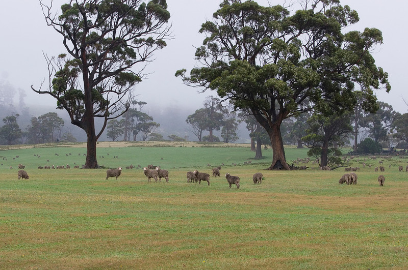 Sheep in a very hard drizzle -- one might almost say rain.