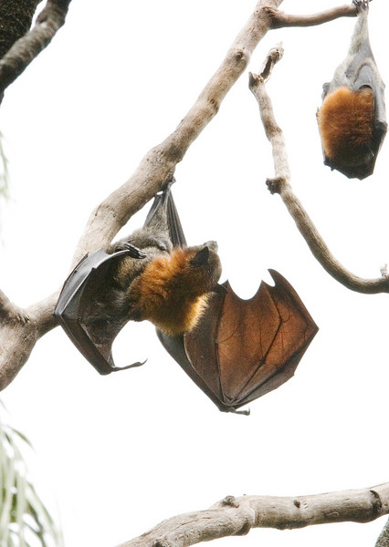 Another bat stretching its wings.