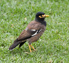Probably a Common Myna bird.
