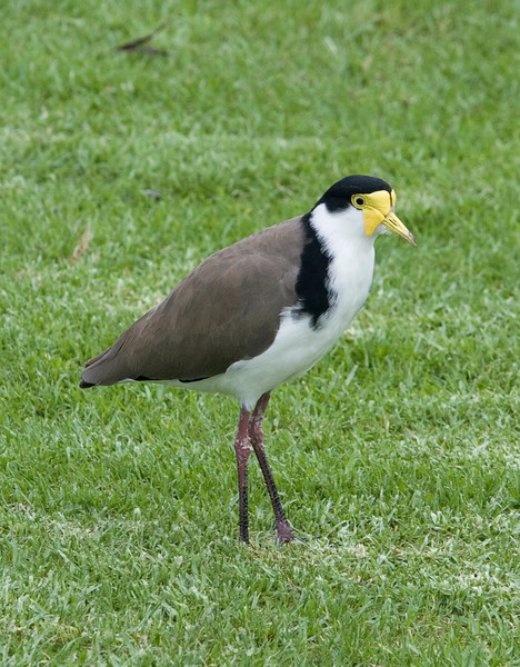 A Plover.