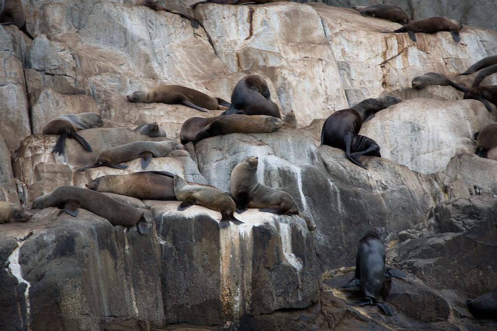 Seals on Tasman Island