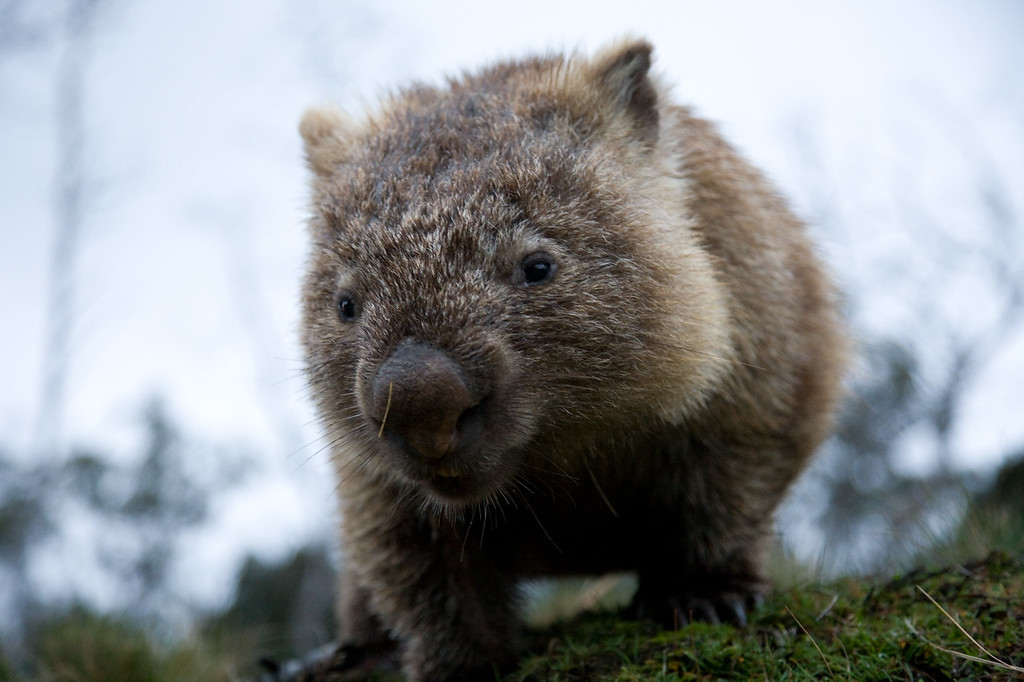 Face-to-face with a wombat