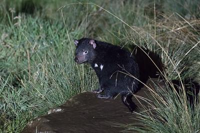 Tasmanian Devil (captive)