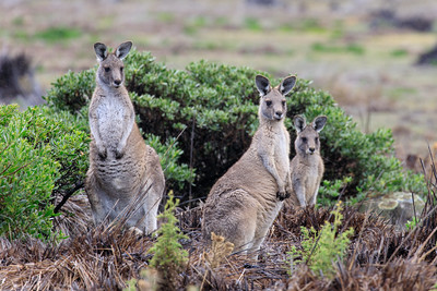 Forester (eastern grey) Kangaroo