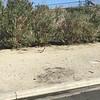 Road Runner in Rancho Mirage