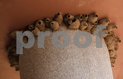 Bird mud nests Mill Ave 7196