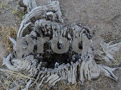 Tree stump Tempe Lake 7265