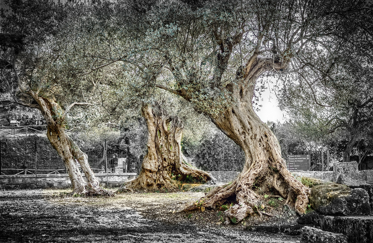 Antique Olive tree in Agrigento Temples' Valley