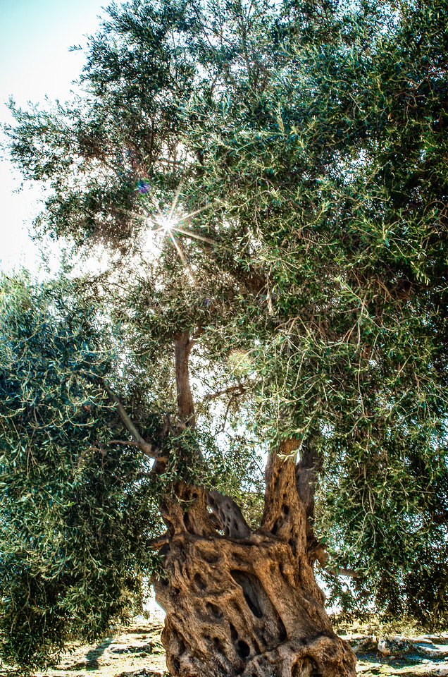 The Antique Concord Olive tree in Agrigento Temples' Valley