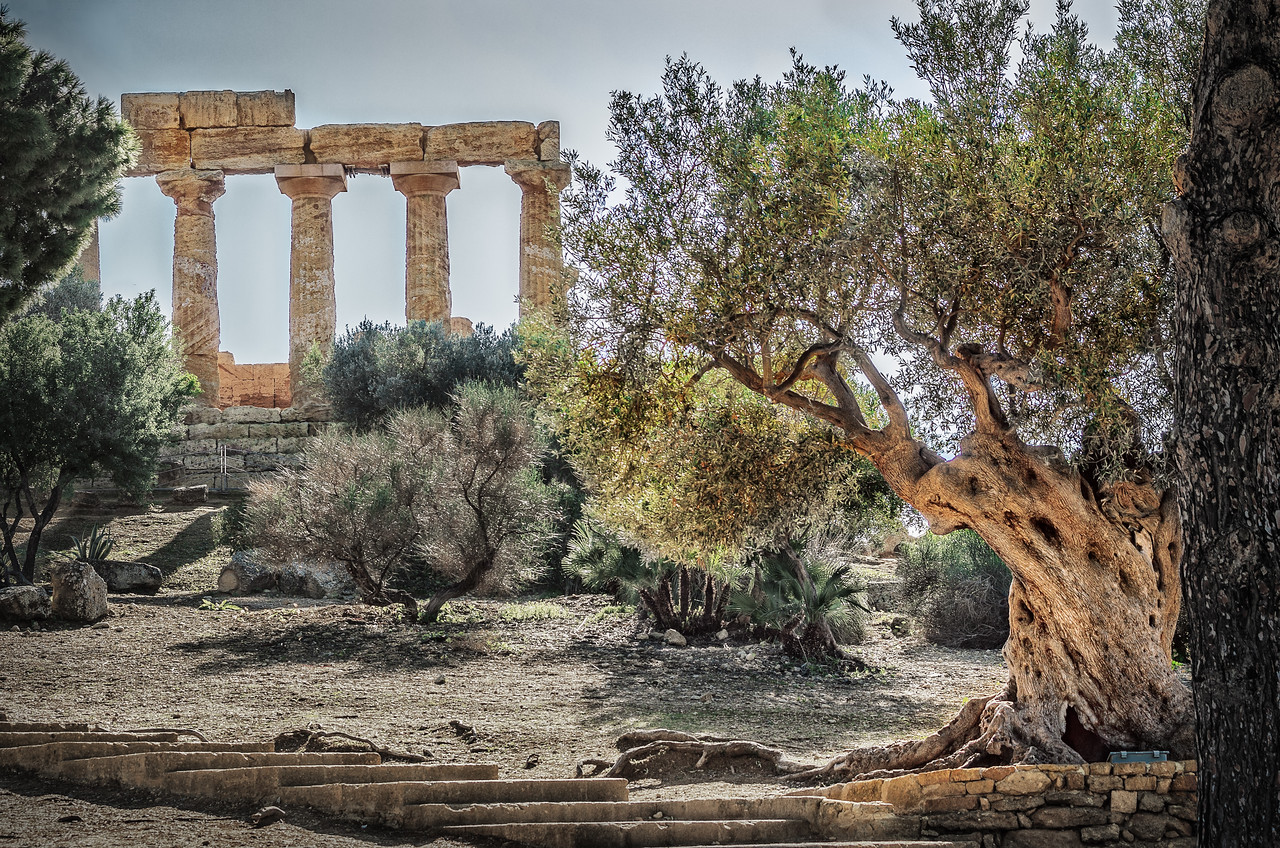 Hera's temple with its millenary olive tree in Agrigento, Sicily