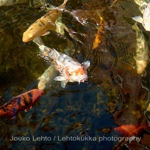 Gold fish - Loro Park