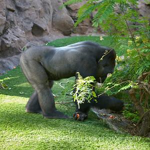 Gorillas - Loro Park
