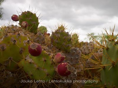 Oka-opuntia, Opuntia dillenii. Montana de Gueza