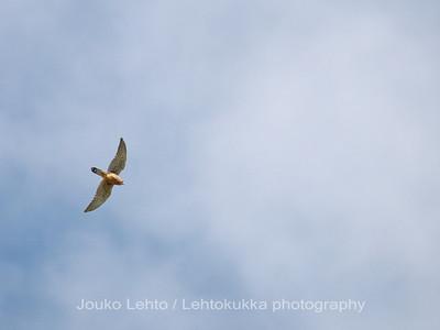 Canary Islands Kestrel, Montana de Gueza