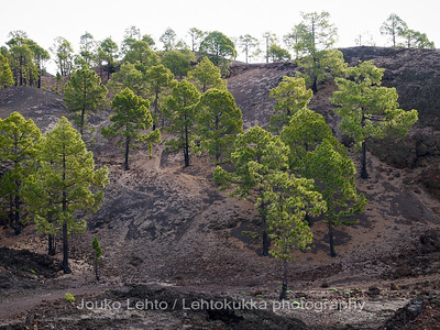 Teide National Park nr 018, with Canary pines