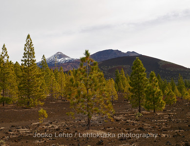 Teide National Park nr 040, with Canary pines