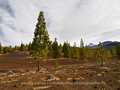 Teide National Park nr 034, with Canary pines