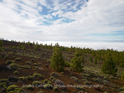 Teide National Park nr 025, with Canary pines