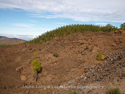 Teide National Park nr 012, with Canary pines