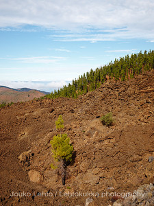 Teide National Park nr 014, with Canary pines