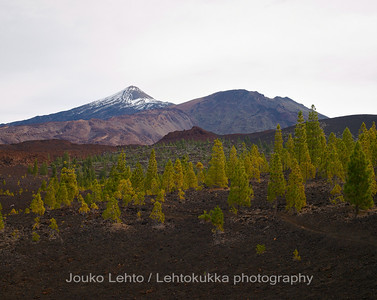 Teide National Park nr 041, with Canary pines