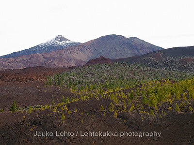 Teide National Park nr 056, with Canary pines