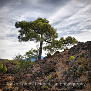 Teide National Park nr 007, with Canary pines