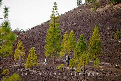Teide National Park nr 044, with Canary pines