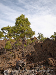 Teide National Park nr 011, with Canary pines