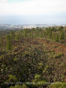 Teide National Park nr 005, with Canary pines