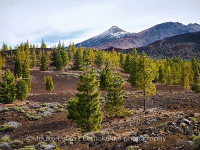 Teide National Park nr 032, with Canary pines