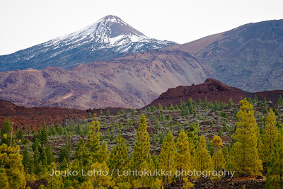 Teide National Park nr 042, with Canary pines
