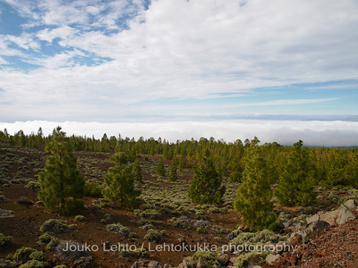Teide National Park nr 028, with Canary pines