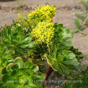 Flowers of Tenerife