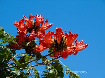 Canarian tulip tree