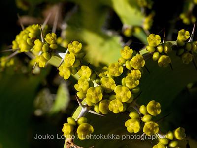 Euphorbia hamata