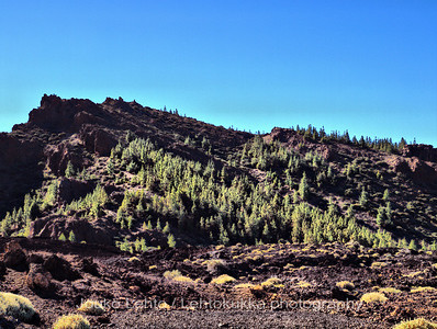 Canary Island Pines (Pinus canariensis)