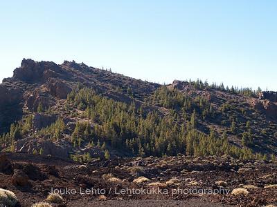 Canary Island Pines (Pinus canariensis)