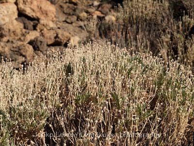 Plants of Teide