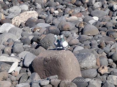 Pigeons on the rocks