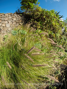 Fountain Grass by the road