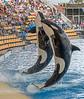 Killer Whales (Orca), Loro Parque