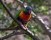Rainbow Lorikeet, Loro Parque