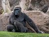 Gorilla, Loro Parque